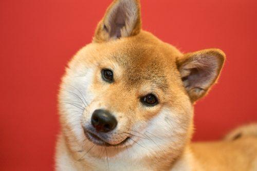 柴犬の画像 p1_22