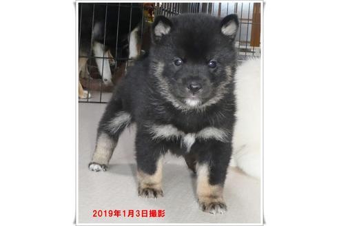 成約済の長崎県の柴犬の4枚目