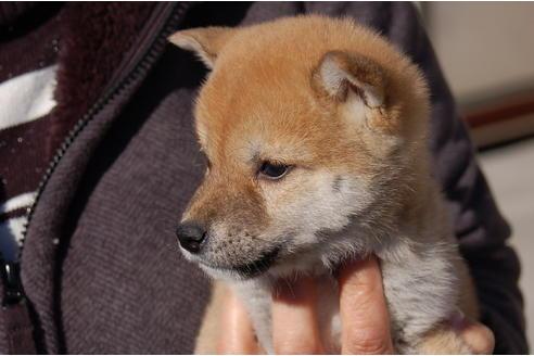 成約済の埼玉県の柴犬の1枚目