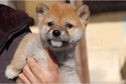 成約済の埼玉県の柴犬の5枚目