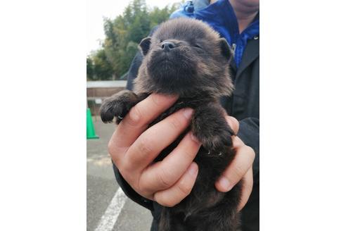 販売中の東京都の甲斐犬の7枚目