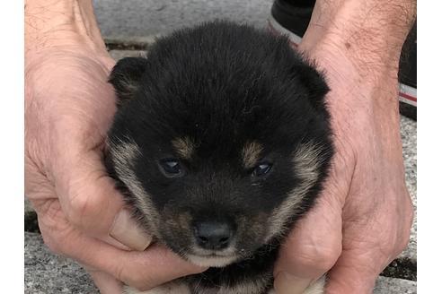 成約済の長崎県の柴犬の10枚目