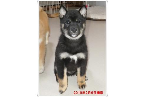 成約済の長崎県の柴犬の2枚目