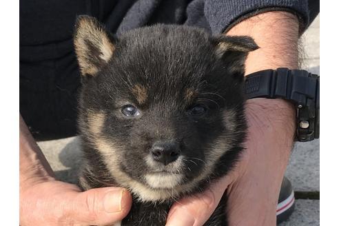 成約済の長崎県の柴犬の1枚目