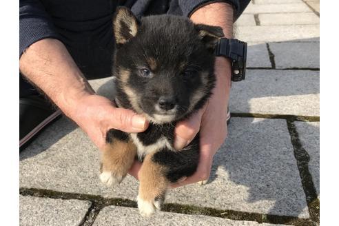 成約済の長崎県の柴犬の5枚目