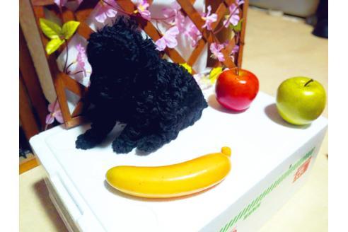成約済の愛知県のトイプードルの5枚目