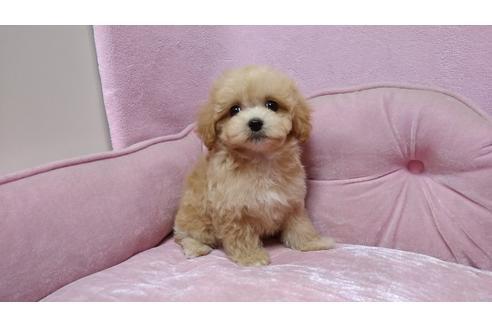 子犬 マルプー 【マルプーの成長記録】写真でみる子犬から成犬への体重推移