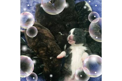 成約済の北海道の秋田犬の5枚目