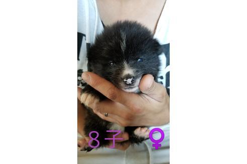 成約済の北海道の秋田犬の4枚目