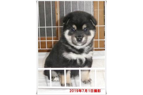 成約済の長崎県の柴犬の8枚目