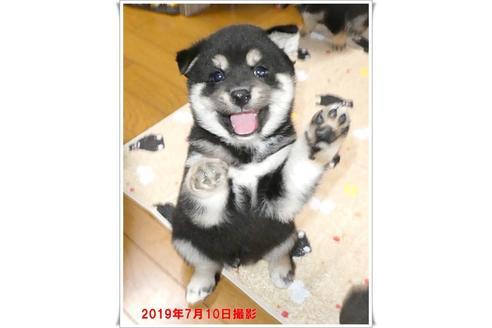 成約済の長崎県の柴犬の7枚目