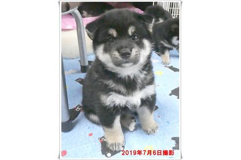 成約済の長崎県の柴犬の6枚目
