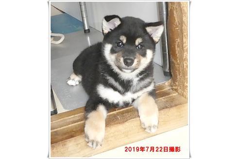 成約済の長崎県の柴犬の3枚目