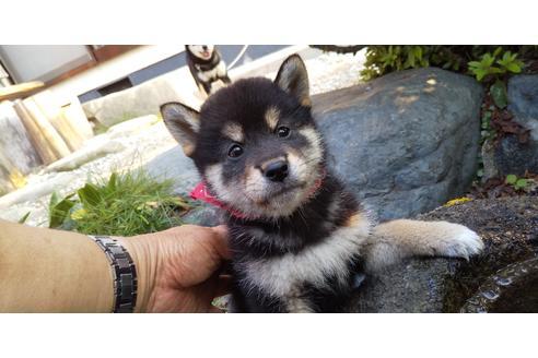 販売中の岡山県の柴犬の1枚目
