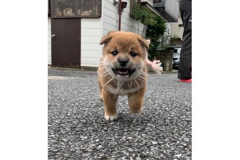 販売中の東京都の柴犬の2枚目