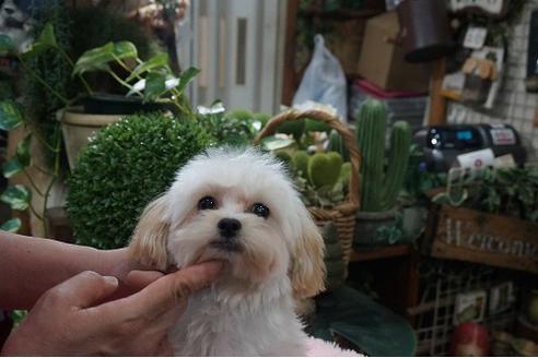 成約済の京都府のミックス犬の3枚目