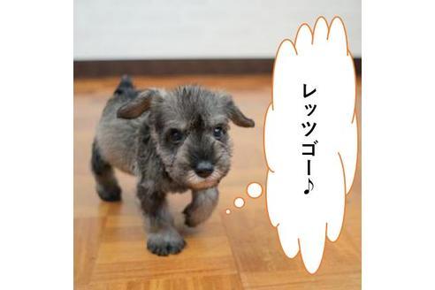 販売中の愛媛県のミニチュアシュナウザーの1枚目