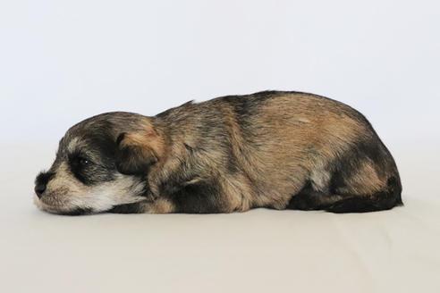 販売中の神奈川県のミックス犬の2枚目