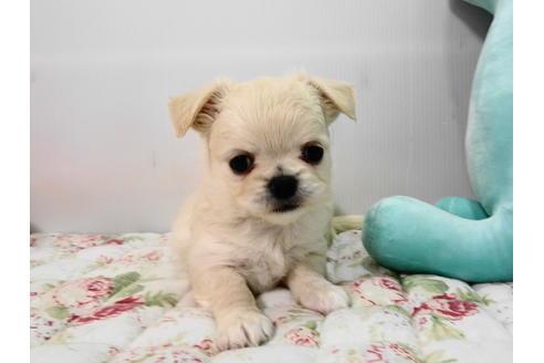 販売中の栃木県のミックス犬の2枚目