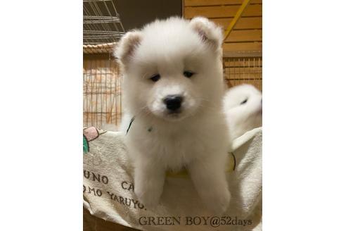 サモエド 子犬