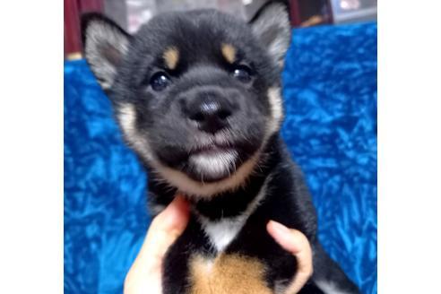 成約済の沖縄県の柴犬の1枚目