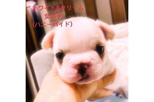 成約済の滋賀県のフレンチブルドッグの4枚目