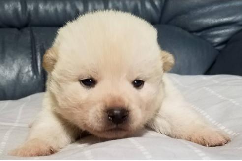 成約済の北海道の柴犬の1枚目