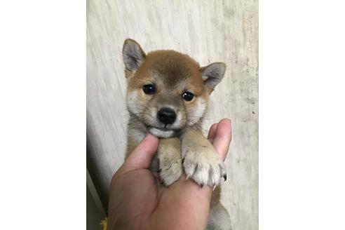 成約済の千葉県の柴犬の1枚目