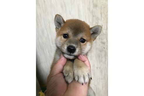 成約済の千葉県の柴犬の3枚目