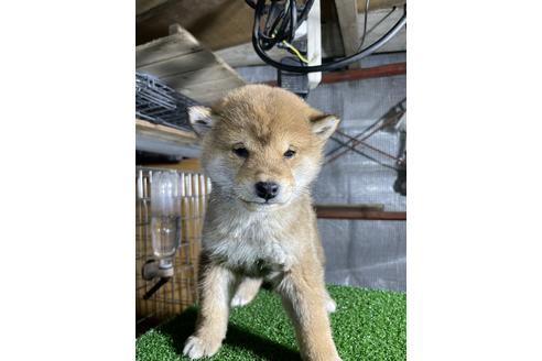 成約済の広島県の柴犬の1枚目