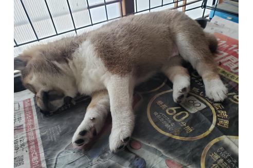 販売中の千葉県の柴犬の8枚目