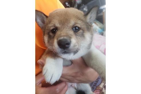 販売中の千葉県の柴犬の5枚目