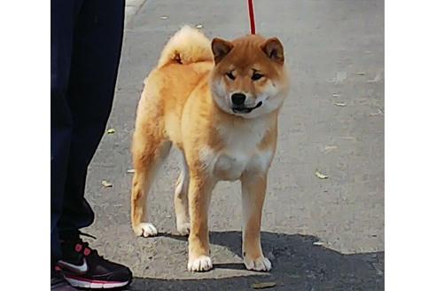 成約済の三重県の柴犬のお父さん1枚目
