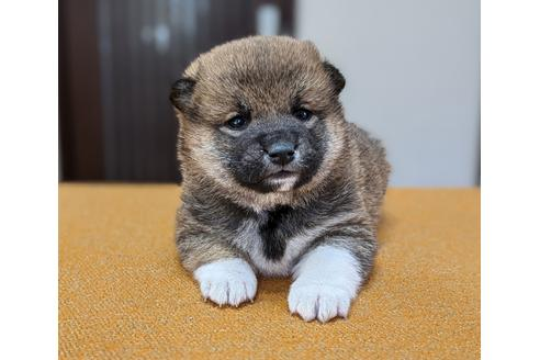 成約済の三重県の柴犬の1枚目