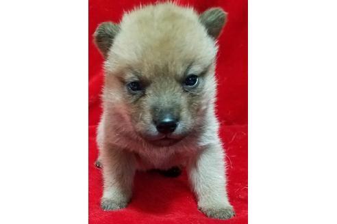 販売中の北海道の北海道犬の1枚目