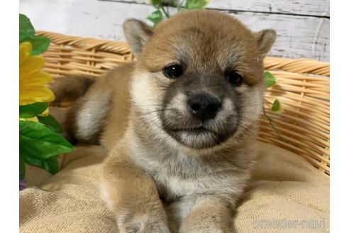 販売中の愛媛県の柴犬-152100の1枚目