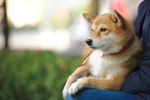 柴犬の認知症は飼い主さんの日ごろの接し方で予防できる?