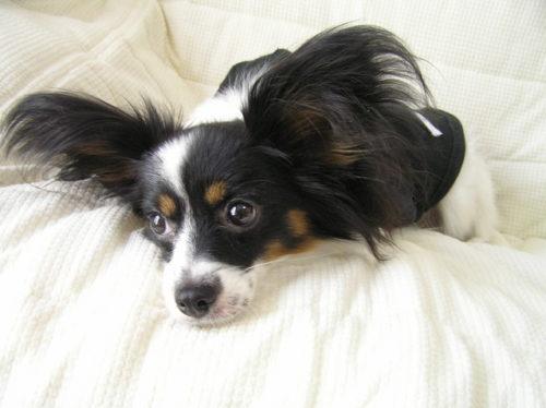 小型犬のパピヨンは病気になりやすい?目や皮膚の病気にはご注意を