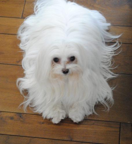 Resultado de imagen para maltese 犬 子犬