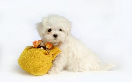 愛犬マルチーズと沢山コミュニケーションをとって関係性を深めよう!