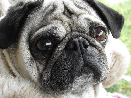 パグの性格や特徴を紹介!初心者にも飼いやすいパグはこんな犬種!