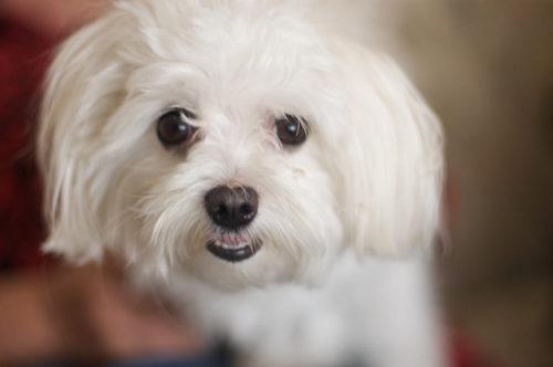 成犬の8割は歯周病!?マルチーズの病気と口臭を歯磨きで防ごう