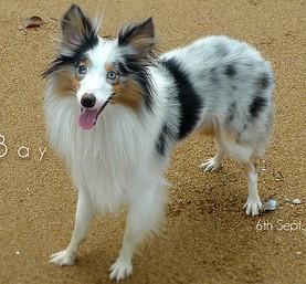 シェルティの子犬を迎えたい!飼い主さんが知っておきたい予備知識