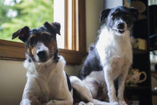テリア ジャック 寿命 ラッセル やんちゃで賢い犬。ジャックラッセルテリアの歴史・特徴・飼育方法