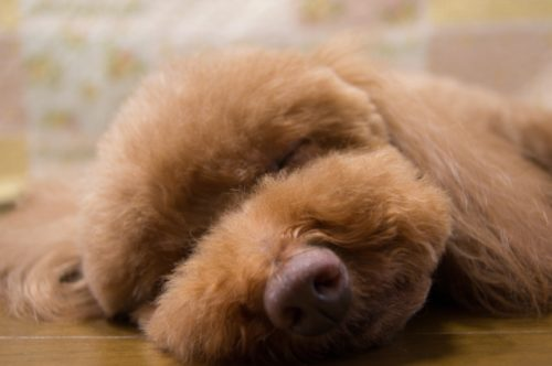 自宅で愛犬の被毛カット!飼い主がトリミングするときの手順や注意点