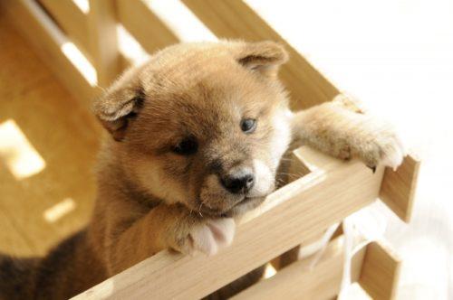 柴犬の子犬をお迎えするならどこから?選び方、名前の付け方は?