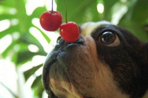 絶対に口にさせてはダメ!犬が食べてはいけない害のある食べ物リスト