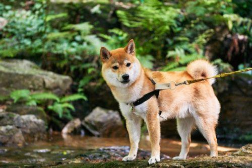 【柴犬の歴史】「飼える」天然記念物、柴犬って何者?