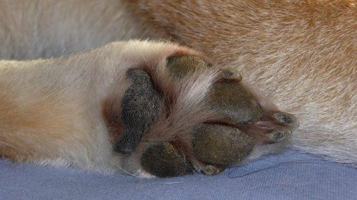 柴犬の爪切りはどうすればいい?やり方や頻度を詳しく解説!