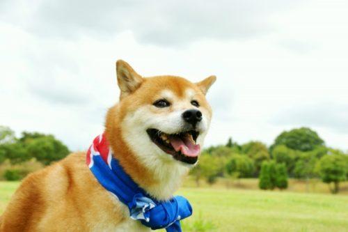 【柴犬の気持ち】ヒコーキ耳?しっぽや表情から何を読み取れる?